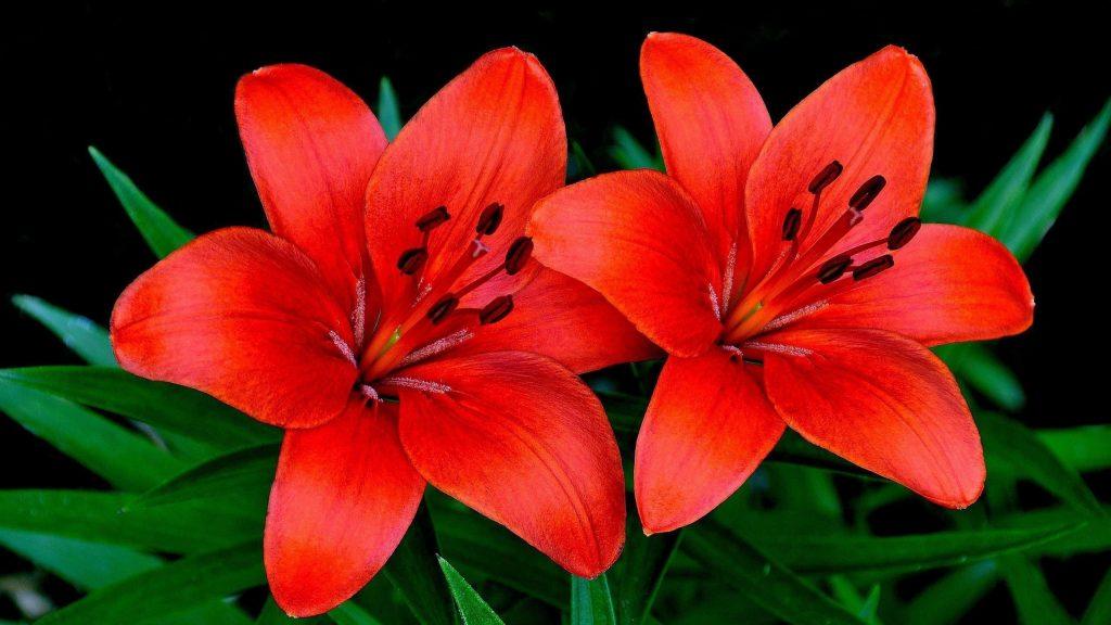 Лилии цветы пара лепестков цветы обои скачать