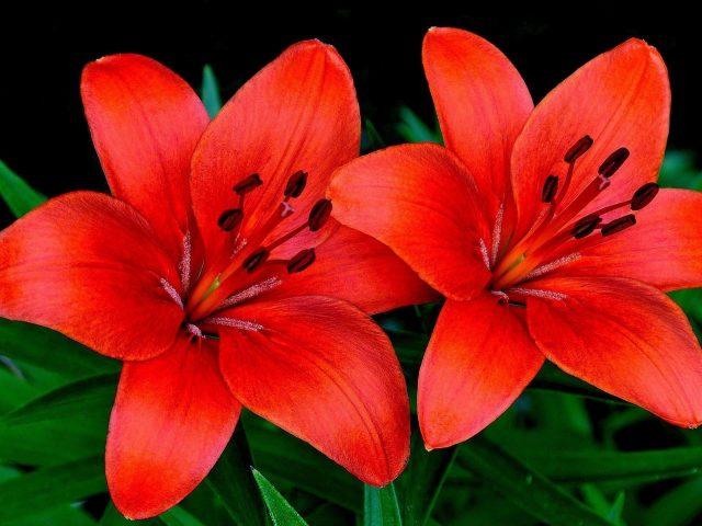 Лилии цветы пара лепестков цветы