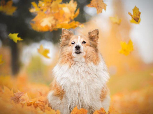 Шетландская овчарка порода собак