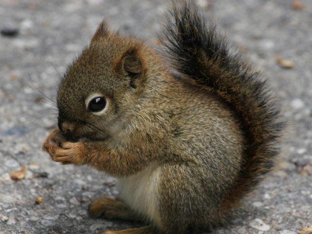Детеныш белки ест беличьи орехи