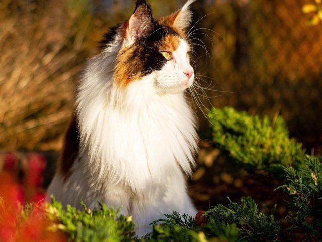 Белая черная желтоглазая кошка сидит на размытом фоне кошки