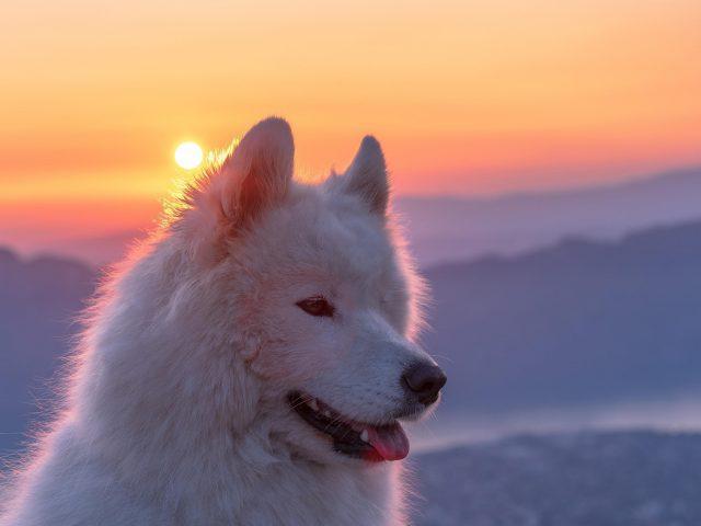 Самоедская белая собака на фоне восхода солнца животные