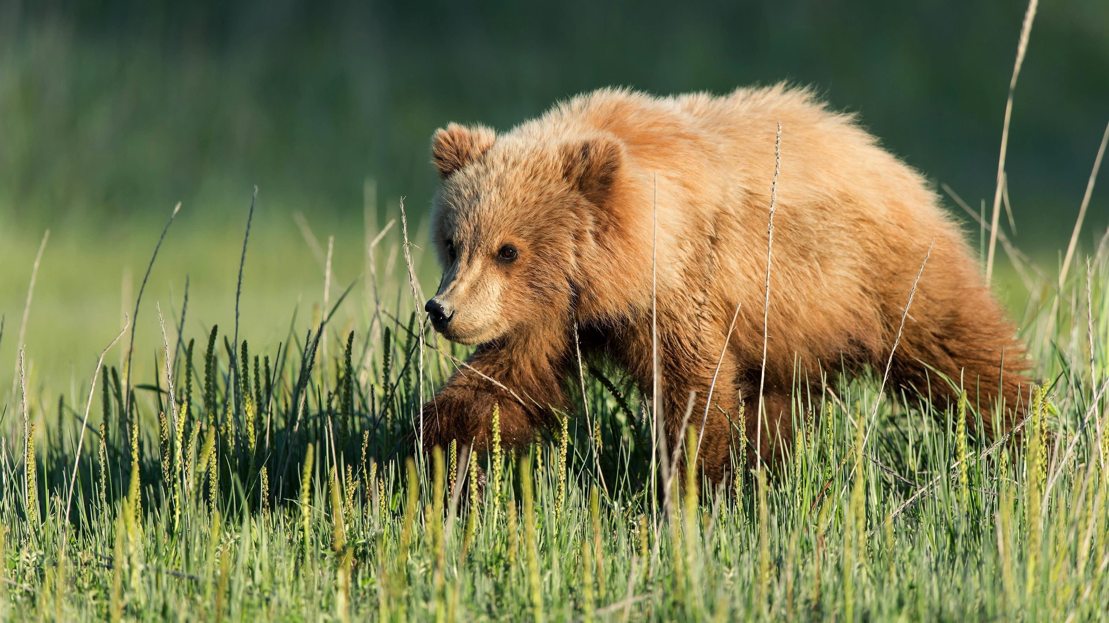 Животное медведь животные обои скачать