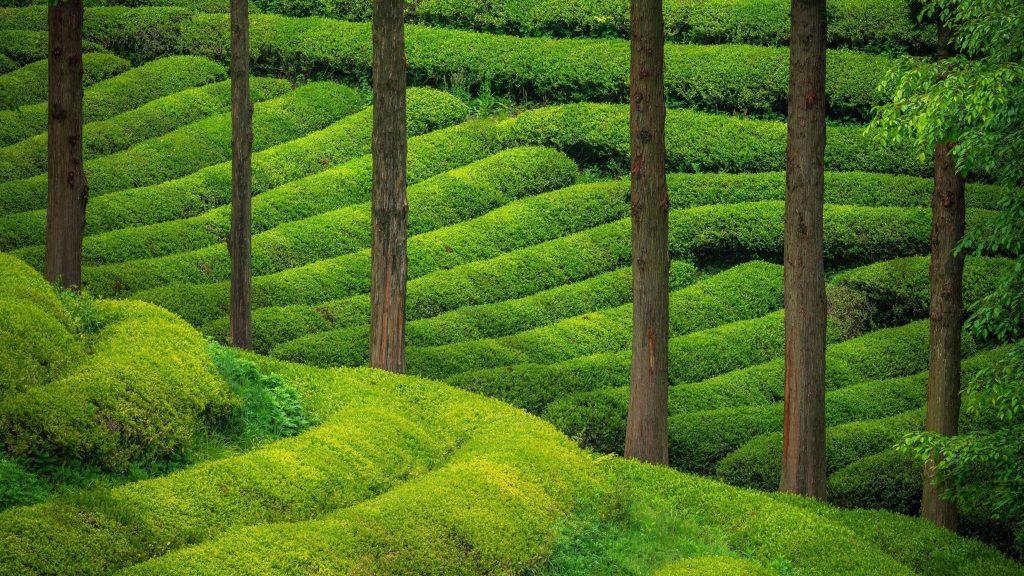 Зеленые деревья холмы плантации природа обои скачать