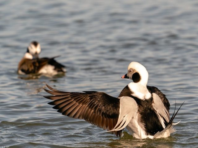 Бурая белая длиннохвостая утка на теле водных животных