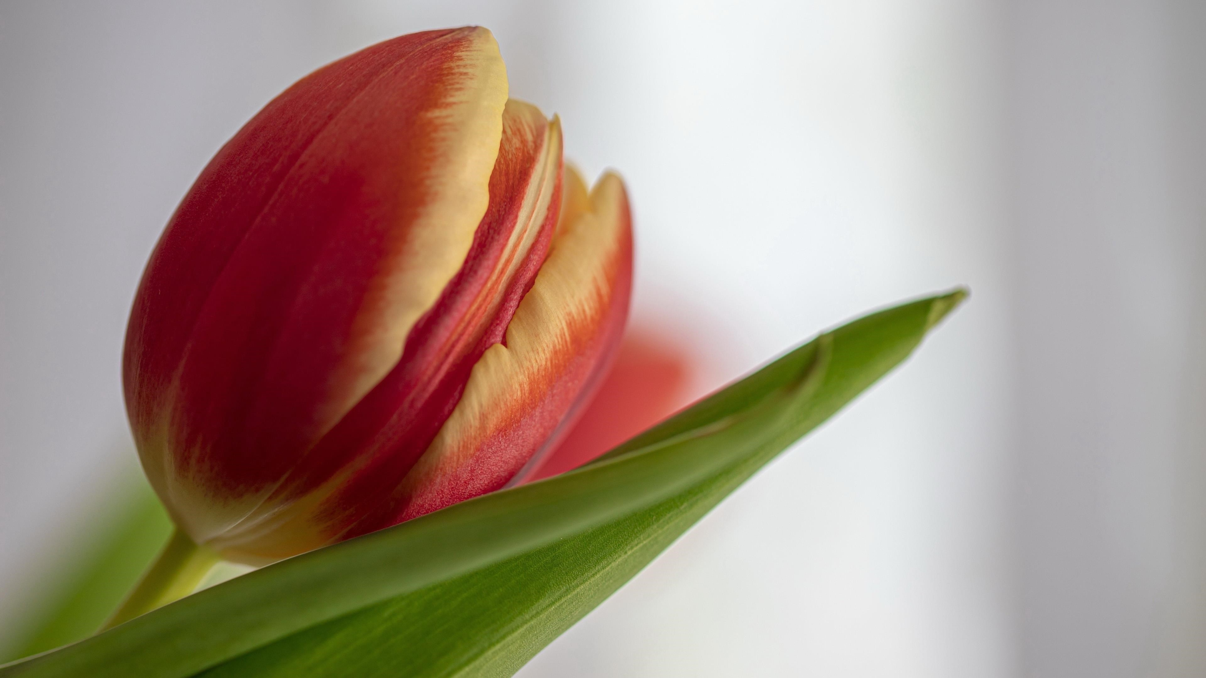 Земляной тюльпан обои скачать
