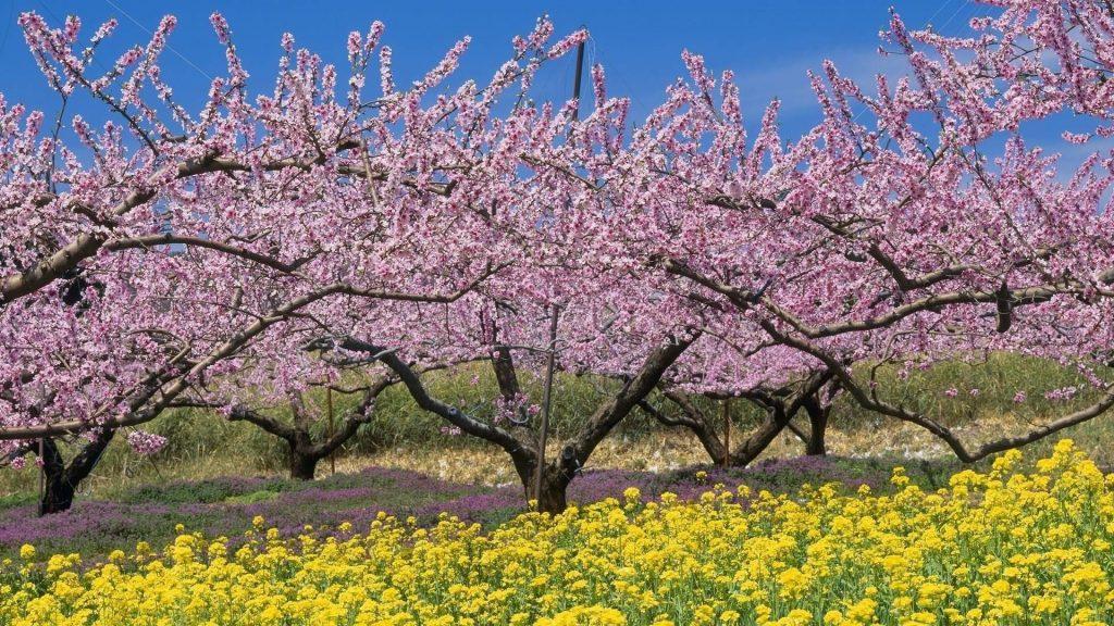Розовые цветущие деревья под голубым небом природа обои скачать