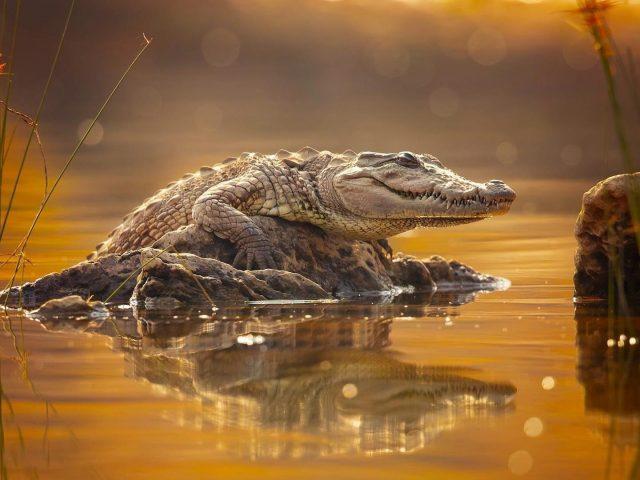 Животное крокодил держит в скале между озером с размытым фоном животных