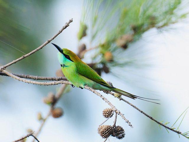 Зеленый синий хвостатый пчелоед птица на ветке дерева животные