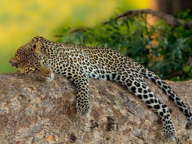 Леопард лежит на скале на зеленом фоне животных