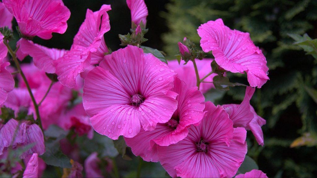 Лаватер цветы капли клумба цветочные цветы обои скачать