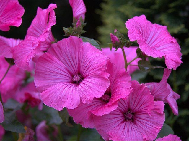 Лаватер цветы капли клумба цветочные цветы