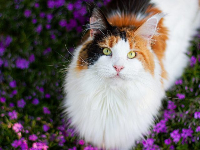 Коричневая черная белая желтоглазая кошка стоит в фиолетовых цветах полевая кошка