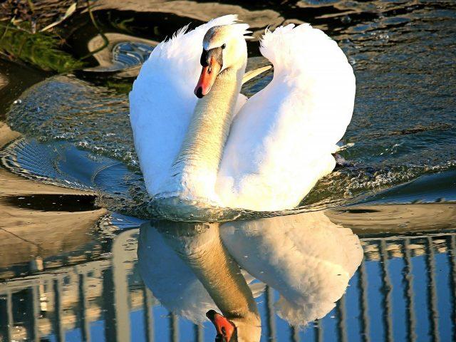 Красивый белый лебедь плывет по водоему с отражением животных