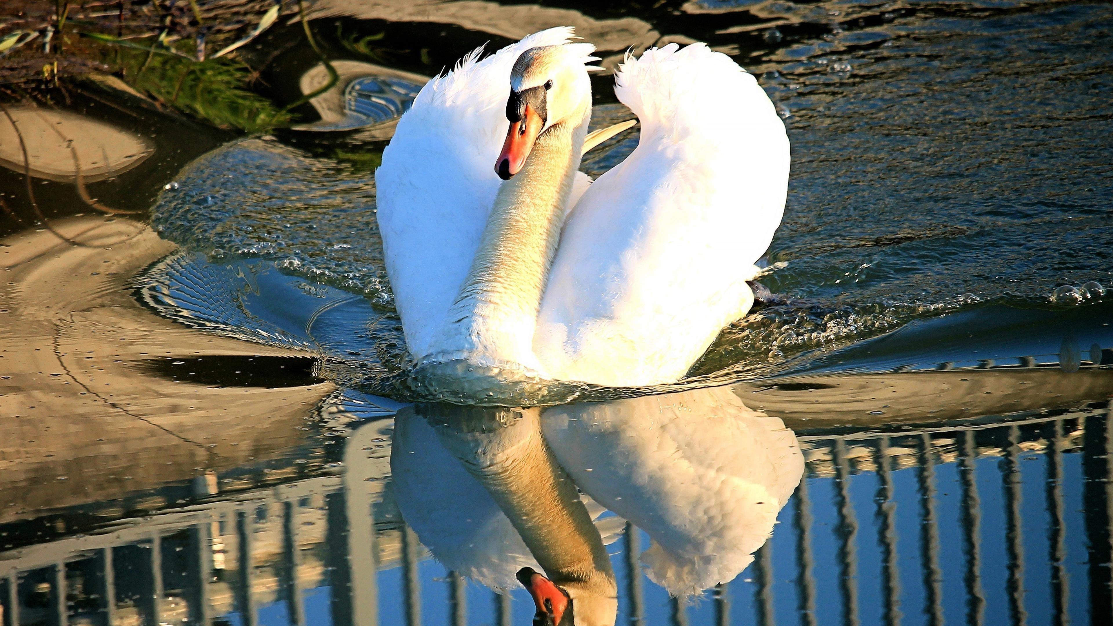 Красивый белый лебедь плывет по водоему с отражением животных обои скачать