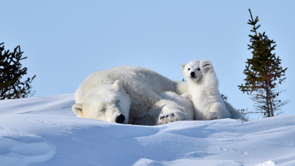Большие и маленькие белые медведи сидят на снежном медведе обои скачать
