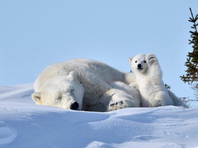 Большие и маленькие белые медведи сидят на снежном медведе
