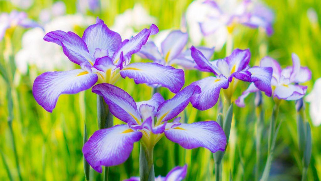Ирисы летняя клумба цветы обои скачать