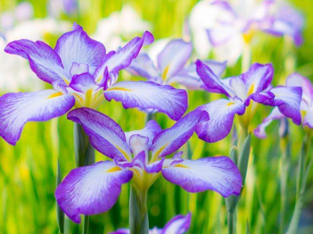 Ирисы летняя клумба цветы