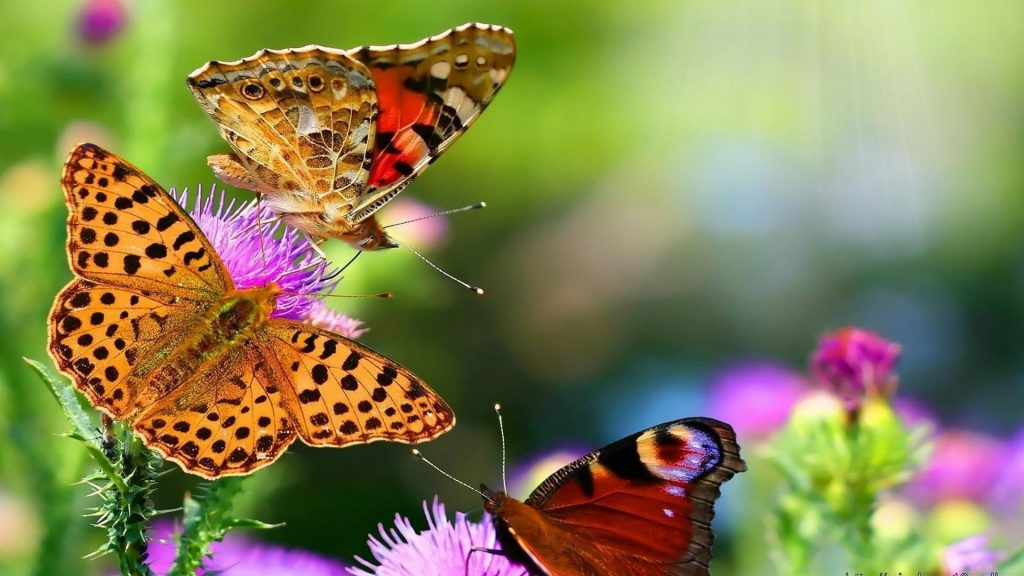 Три коричневые бабочки на фиолетовых цветах бабочка обои скачать
