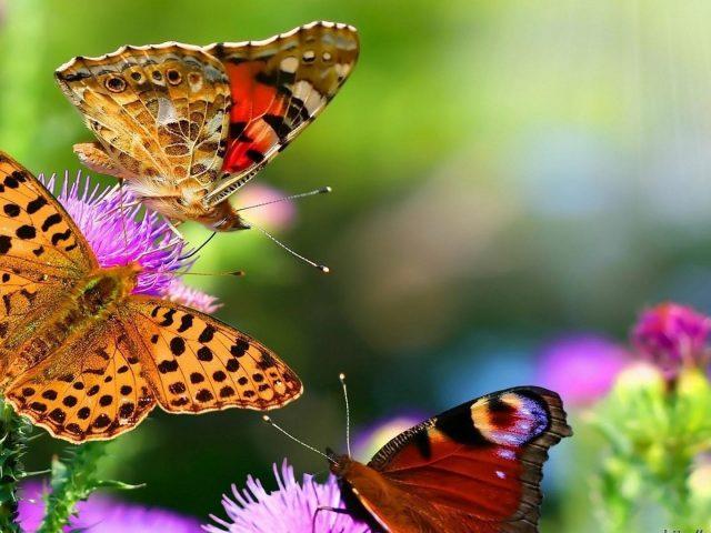 Три коричневые бабочки на фиолетовых цветах бабочка