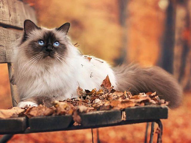 Черный белый голубоглазый кот сидит на деревянной скамейке на размытом фоне кошка