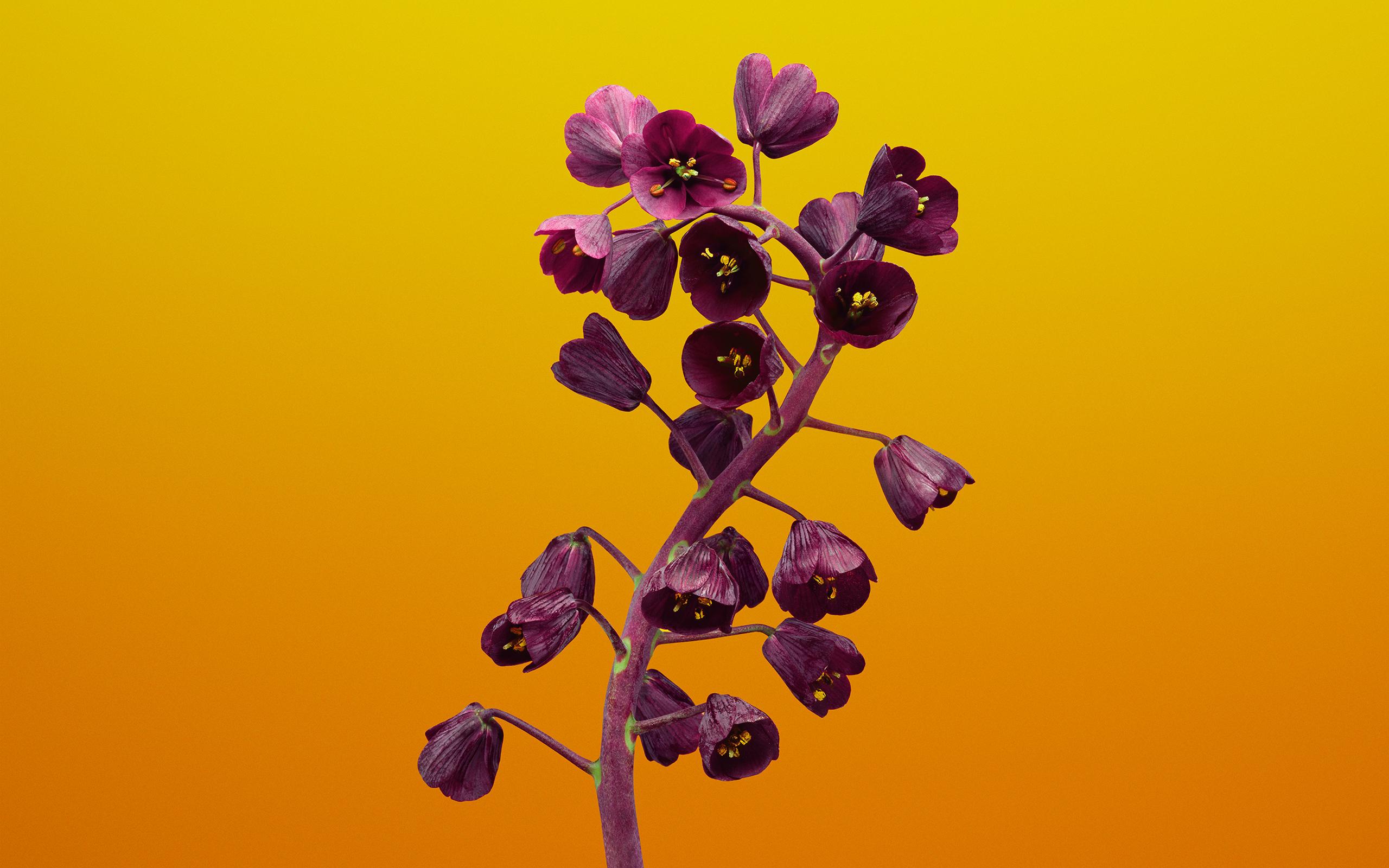 Акции рябчик цветок прошивкой 11 обои скачать