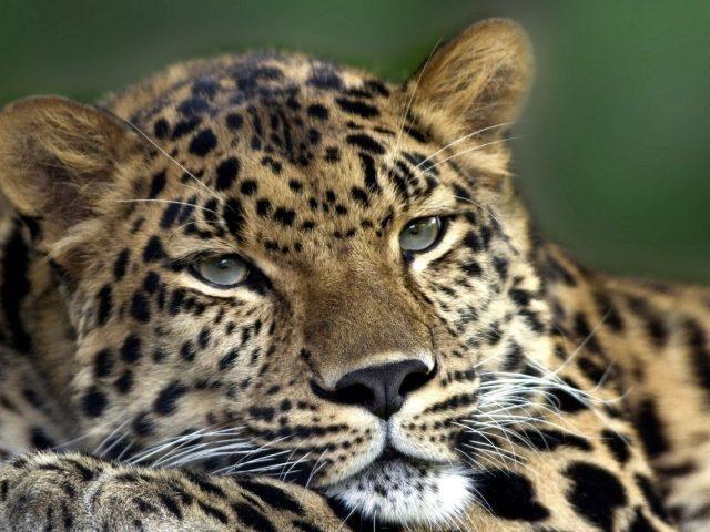 Леопард,  дальневосточный,  отдых