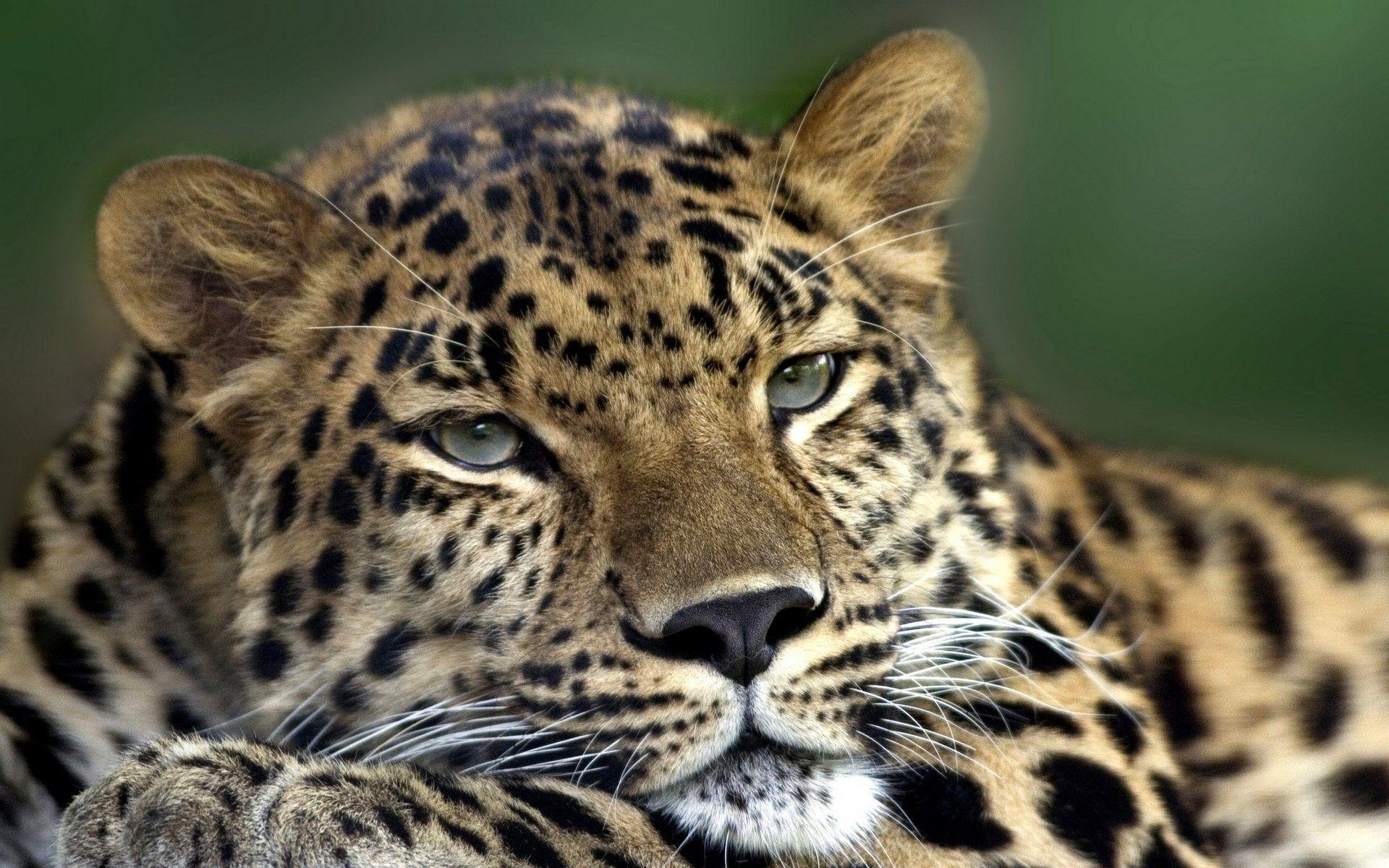 Леопард, дальневосточный, отдых обои скачать