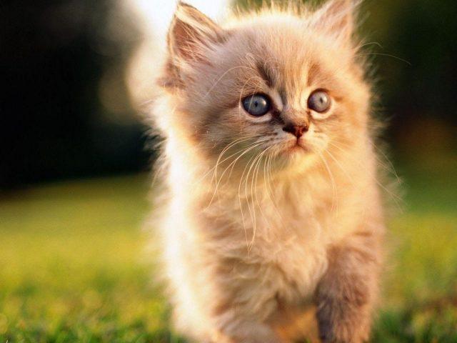 Белый меховой кот котенок на зеленой траве на синем фоне милый кот