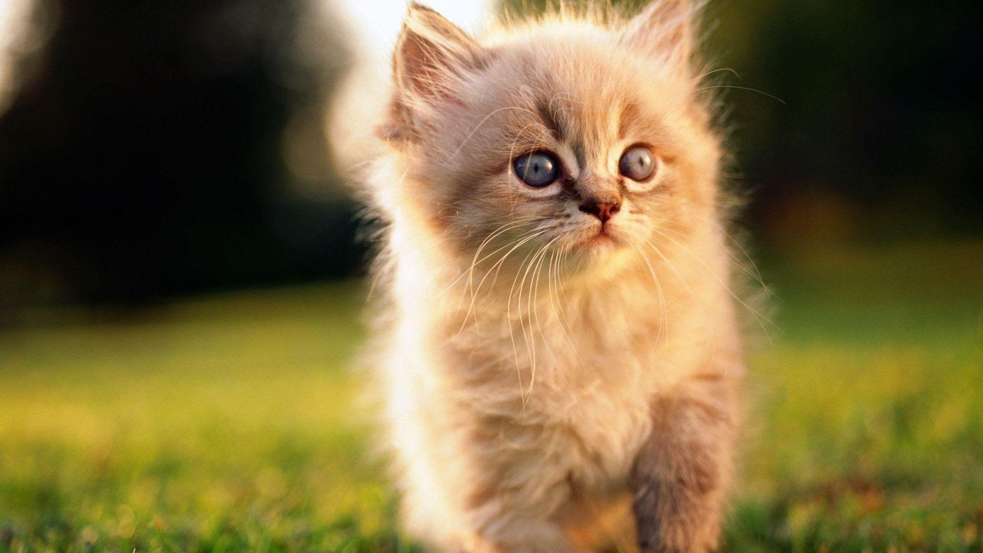 Белый меховой кот котенок на зеленой траве на синем фоне милый кот обои скачать