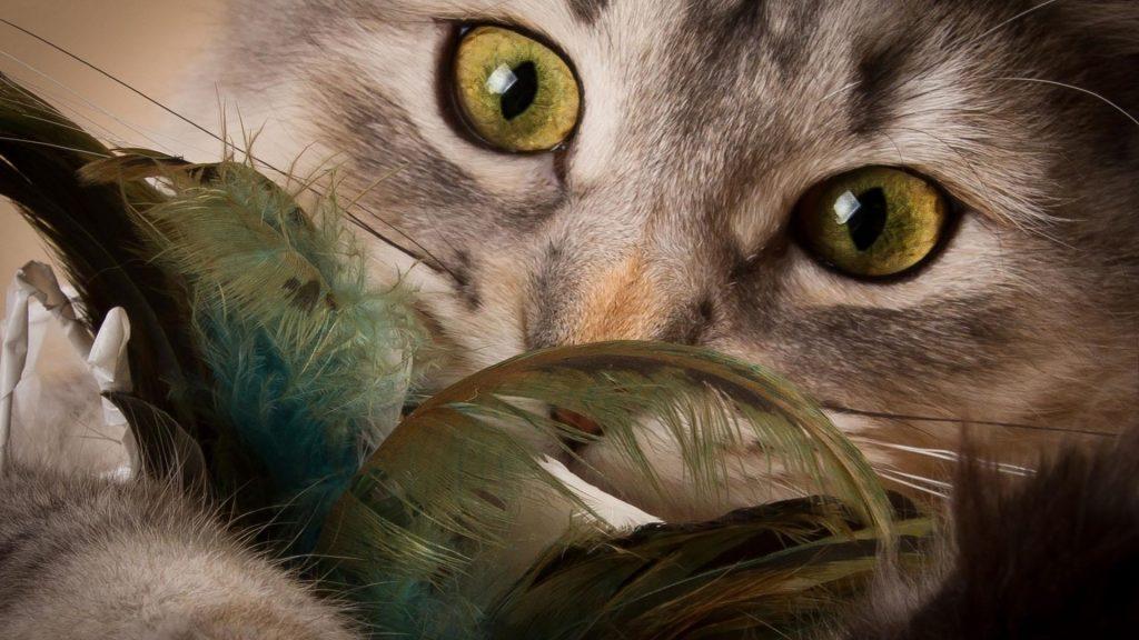 Крупным планом вид пристального взгляда кошки кошки обои скачать