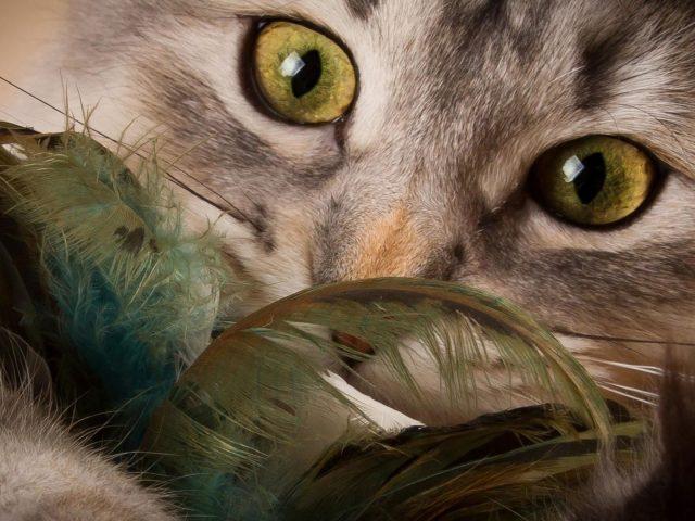 Крупным планом вид пристального взгляда кошки кошки