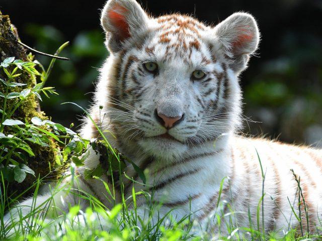Животное белый тигр животные