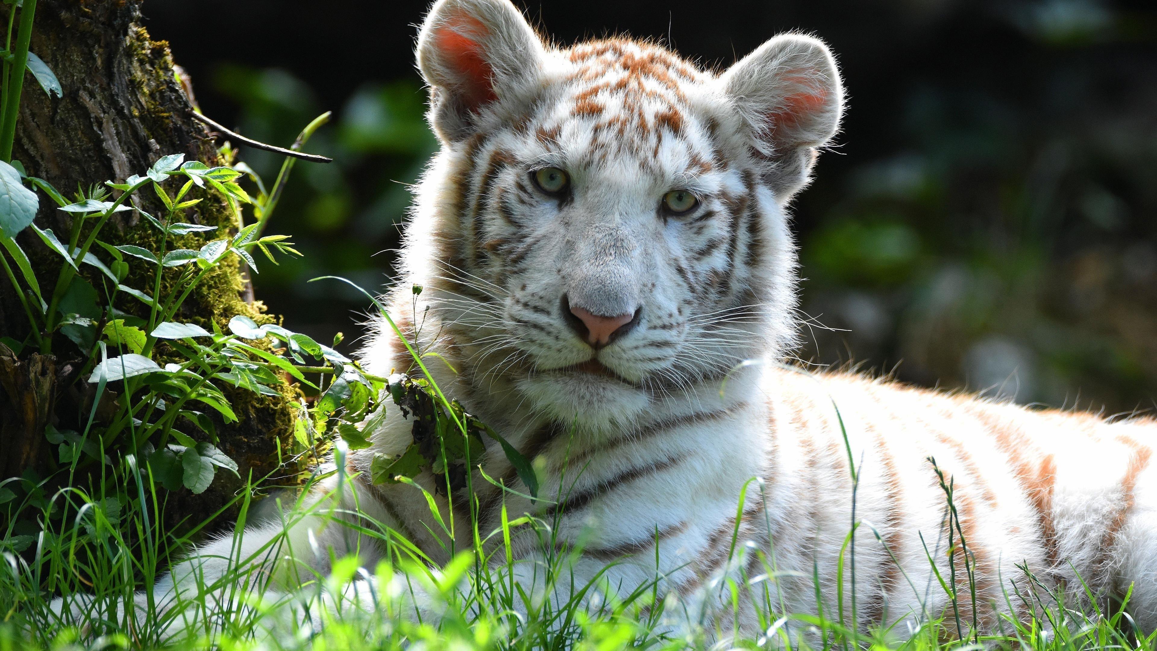 Животное белый тигр животные обои скачать