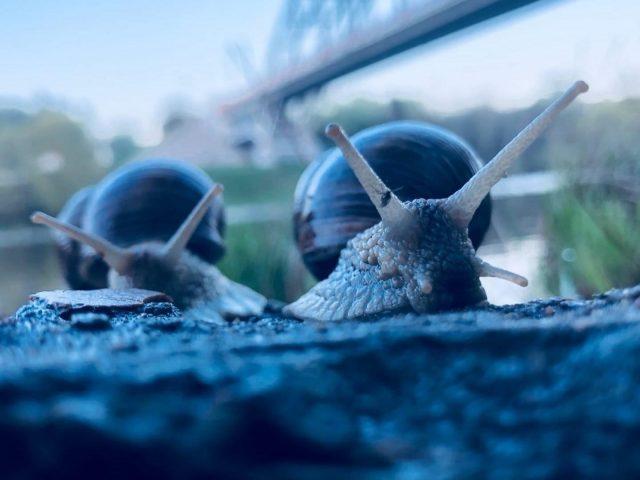 Крупным планом Фото двух голубых улиток животных