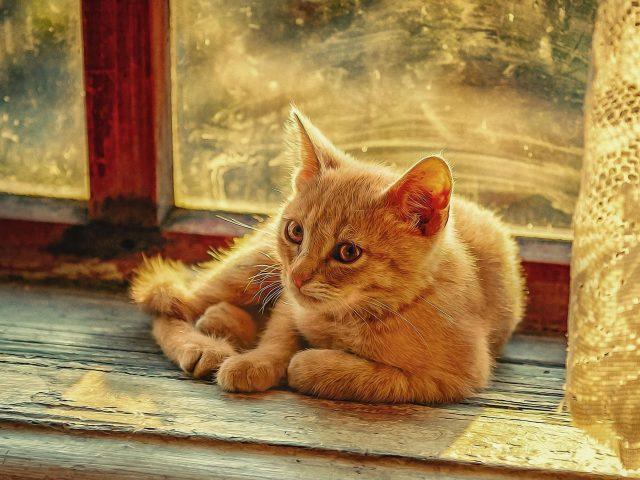 Светло-коричневая кошка сидит перед стеклянным окном кошки