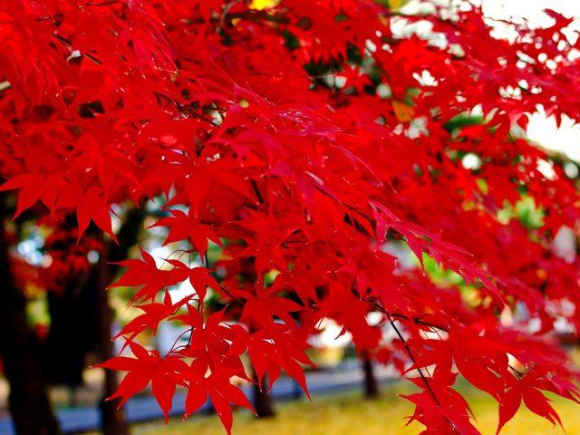 Крупным планом вид на красные осенние лиственные ветви деревьев природа