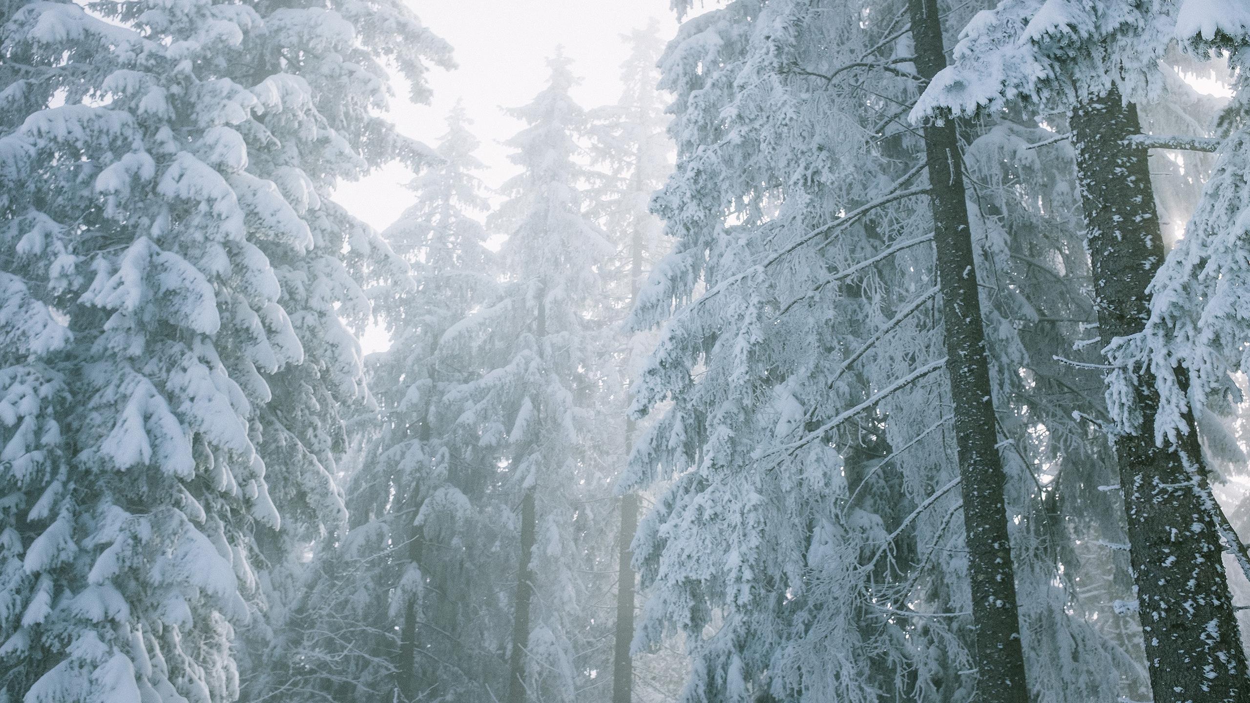 Заснеженный ельник с туманной зимой обои скачать