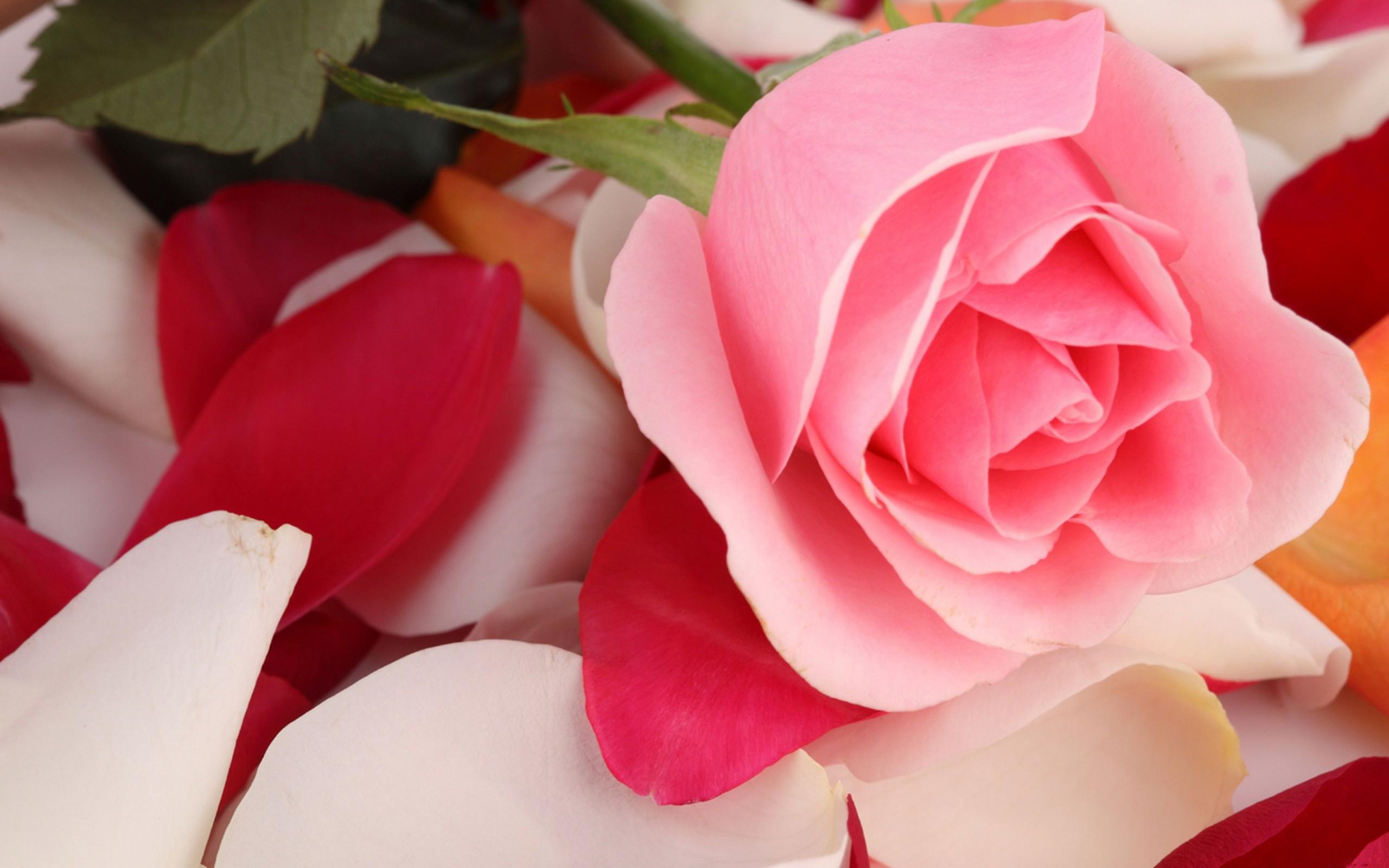 Розовые розы красивые. обои скачать