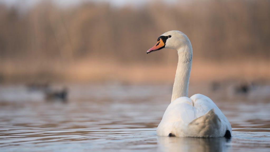 Белый лебедь плавает на водоплавающих птицах обои скачать