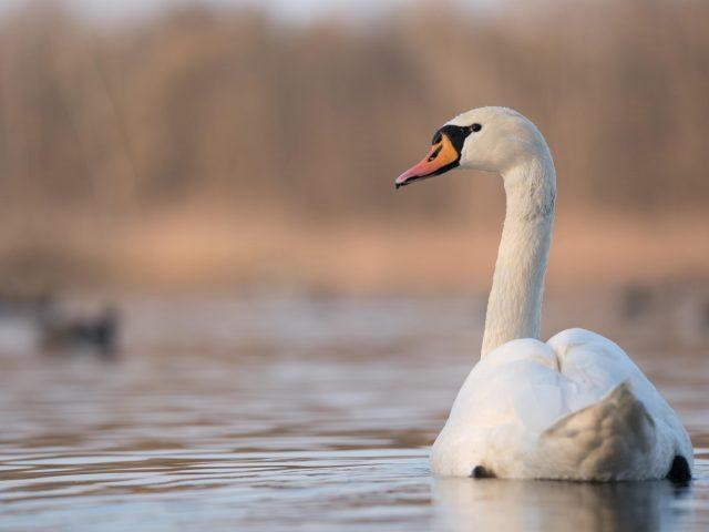 Белый лебедь плавает на водоплавающих птицах