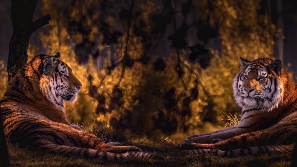 Двойное изображение тигра на фоне леса тигр обои скачать