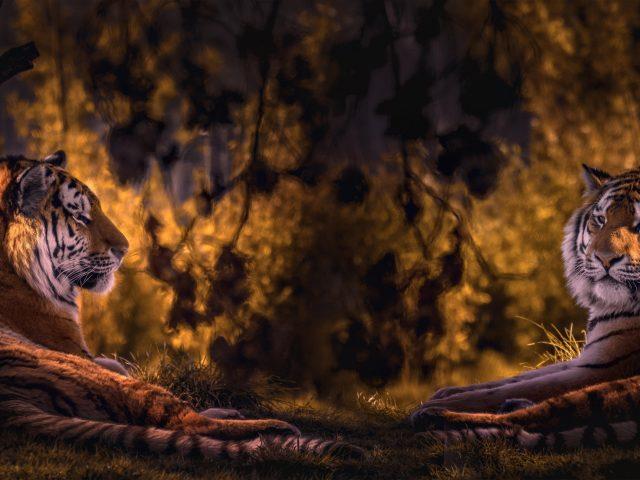 Двойное изображение тигра на фоне леса тигр