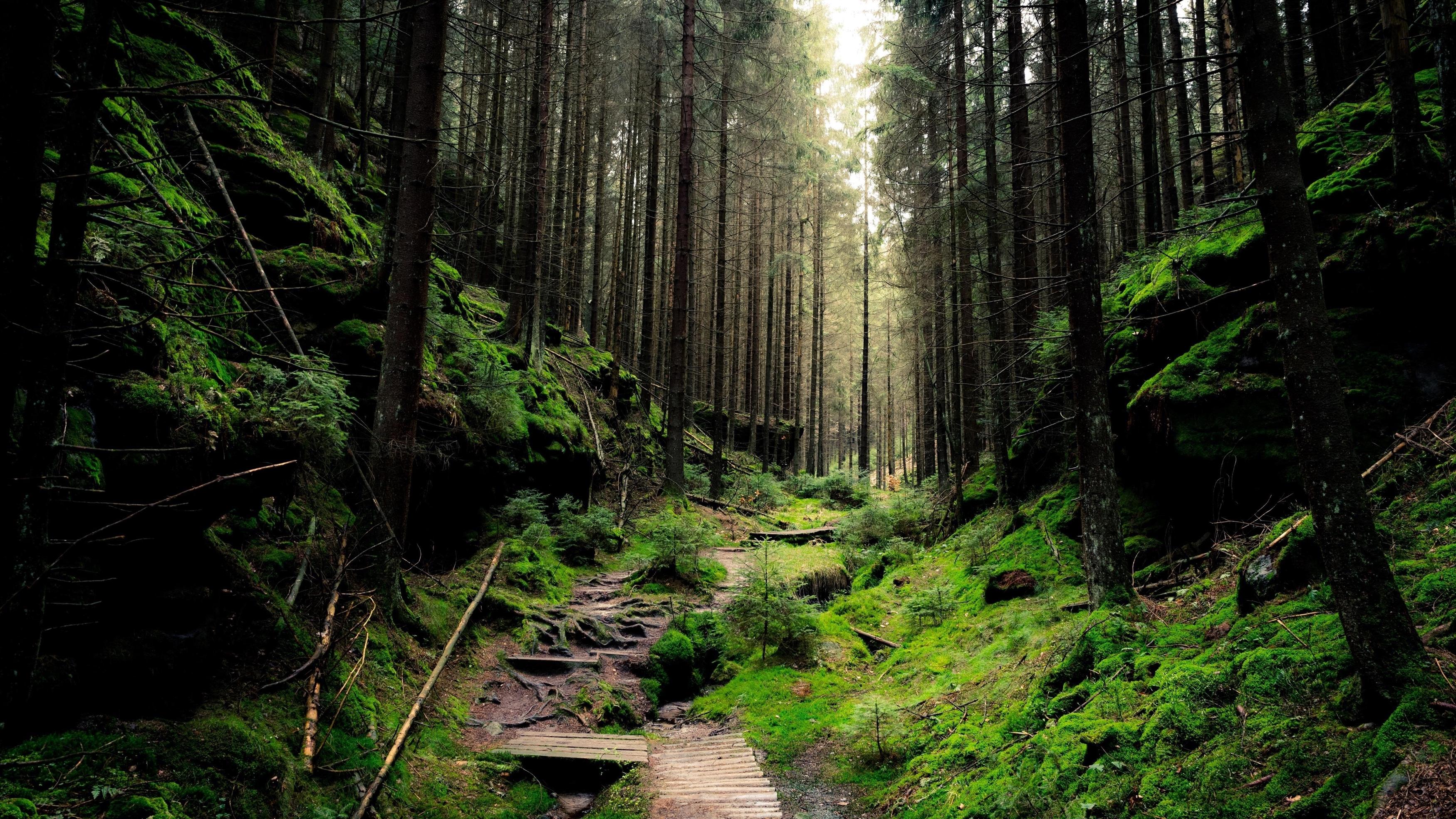 Густой лес обои скачать