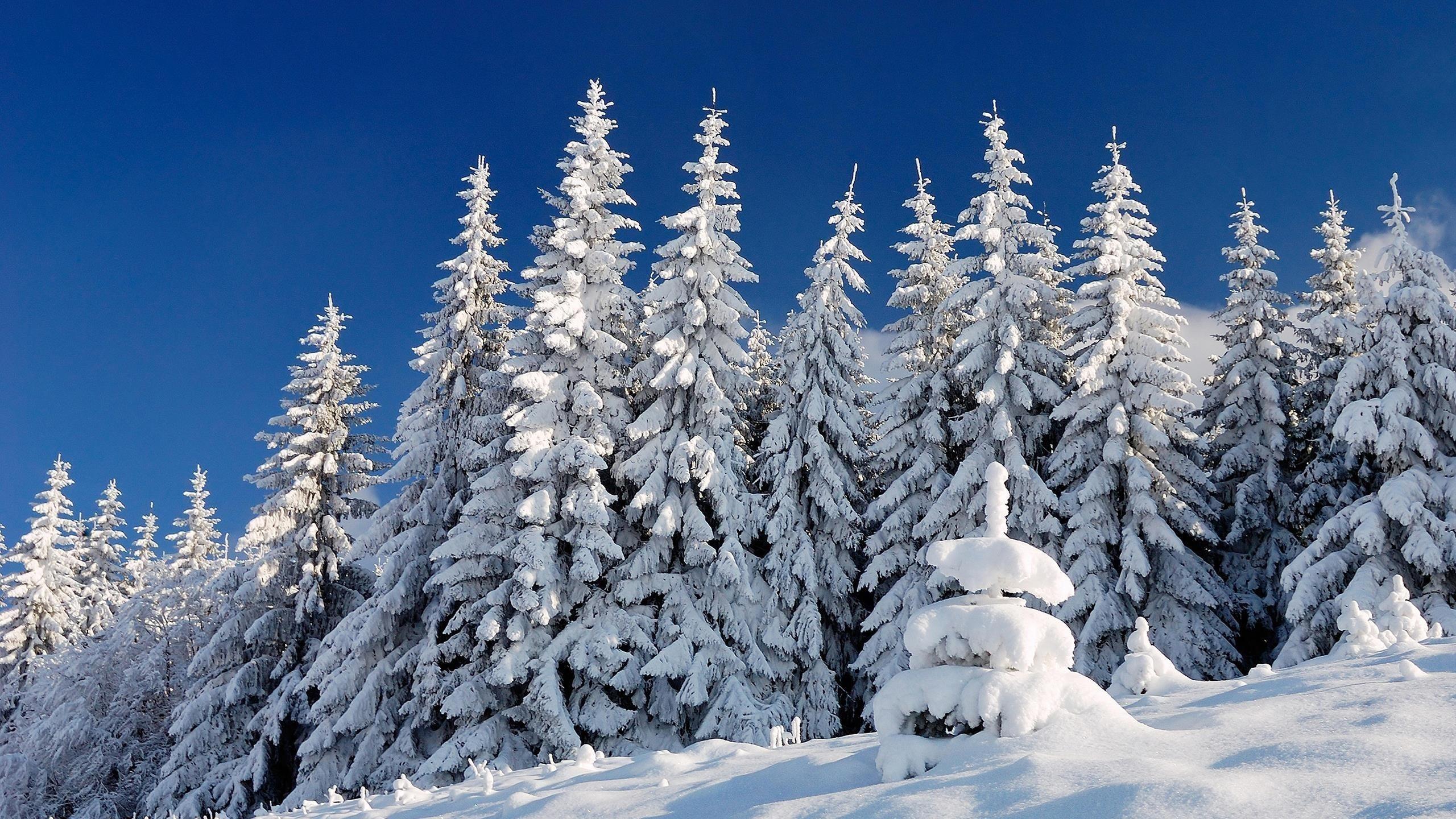 Заснеженные ели в снежном поле под голубым небом зима обои скачать