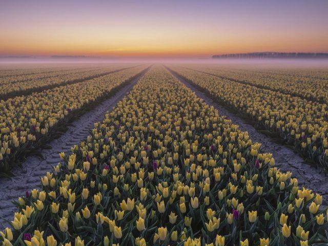 Туманный тюльпан во время заката цветет