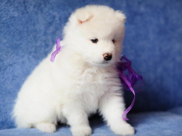 Милый белый щенок сидит на синем диване с фиолетовой лентой на шее животного