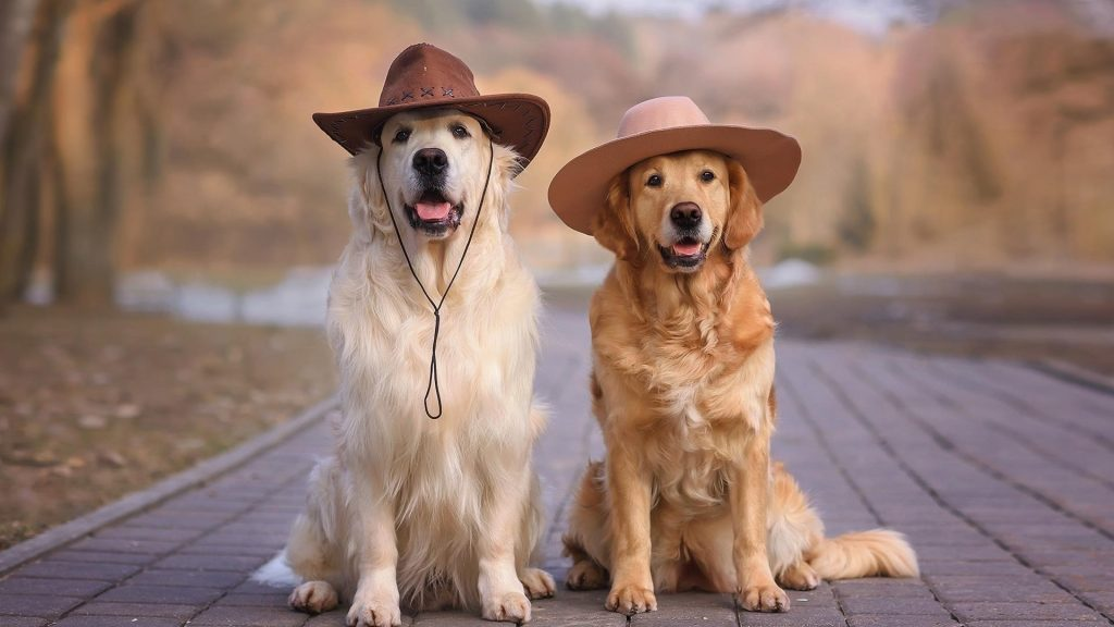 Золотистый ретривер собаки в шляпах сидит на дороге собака обои скачать