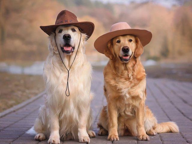 Золотистый ретривер собаки в шляпах сидит на дороге собака
